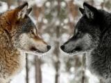 Важная истина: побеждает тот волк, которого ты кормишь